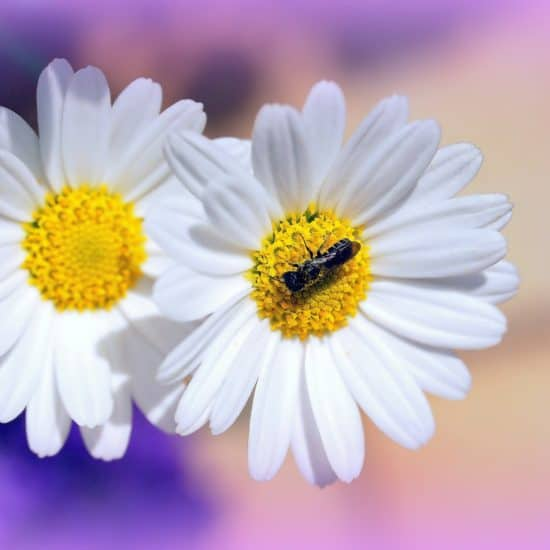 outdoor living, daisy flower with a bee
